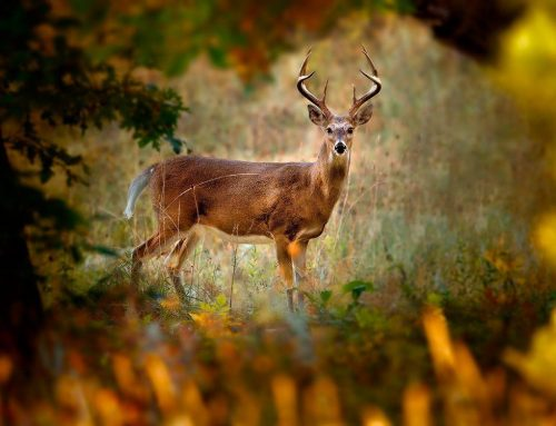 LtlAcorn Tips:How to Prepare for Hunting Deer Season ?